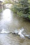 京都祇園の川と桜とアオサギの画像001
