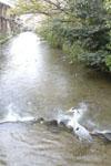 京都祇園の川と桜とアオサギの画像002