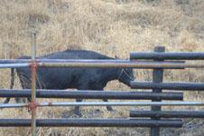 熊本 牛の画像002