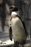 江戸川区自然動物園のペンギンの画像001