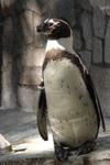 江戸川区自然動物園のペンギンの画像002