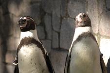 江戸川区自然動物園のペンギンの画像003
