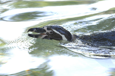 江戸川区自然動物園のペンギンの画像005