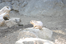 江戸川区自然動物園のプレーリードッグの画像001