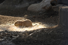 江戸川区自然動物園のプレーリードッグの画像003