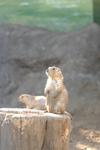 江戸川区自然動物園のプレーリードッグの画像004