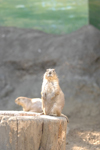 江戸川区自然動物園のプレーリードッグの画像005