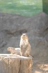江戸川区自然動物園のプレーリードッグの画像006