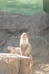 江戸川区自然動物園のプレーリードッグの画像007