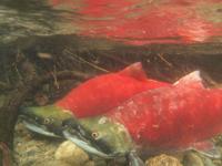 アダムズ川のピンクサーモンのサーモン・ランの画像005