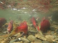 アダムズ川のピンクサーモンのサーモン・ランの画像006