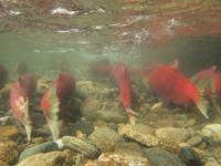 アダムズ川のピンクサーモンのサーモン・ランの画像007