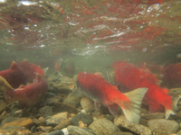 アダムズ川のピンクサーモンのサーモン・ランの画像008