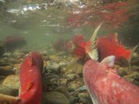 アダムズ川のピンクサーモンのサーモン・ランの画像010