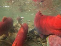 アダムズ川のピンクサーモンのサーモン・ランの画像011