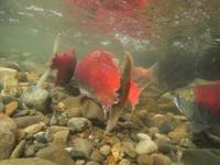 アダムズ川のピンクサーモンのサーモン・ランの画像016