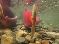 アダムズ川のピンクサーモンのサーモン・ランの画像018