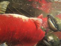 アダムズ川のピンクサーモンのサーモン・ランの画像019