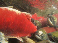 アダムズ川のピンクサーモンのサーモン・ランの画像020