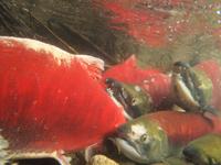 アダムズ川のピンクサーモンのサーモン・ランの画像021