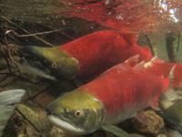 アダムズ川のピンクサーモンのサーモン・ランの画像022