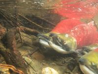 アダムズ川のピンクサーモンのサーモン・ランの画像023