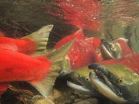 アダムズ川のピンクサーモンのサーモン・ランの画像025