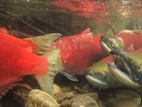 アダムズ川のピンクサーモンのサーモン・ランの画像026