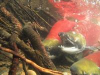 アダムズ川のピンクサーモンのサーモン・ランの画像028