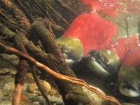 アダムズ川のピンクサーモンのサーモン・ランの画像029
