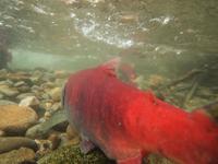 アダムズ川のピンクサーモンのサーモン・ランの画像031