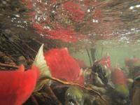 アダムズ川のピンクサーモンのサーモン・ランの画像032