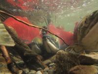 アダムズ川のピンクサーモンのサーモン・ランの画像033