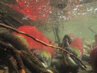 アダムズ川のピンクサーモンのサーモン・ランの画像034