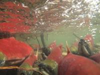 アダムズ川のピンクサーモンのサーモン・ランの画像035