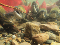 アダムズ川のピンクサーモンのサーモン・ランの画像036