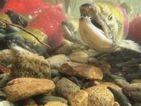 アダムズ川のピンクサーモンのサーモン・ランの画像039