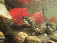 アダムズ川のピンクサーモンのサーモン・ランの画像043