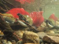 アダムズ川のピンクサーモンのサーモン・ランの画像044