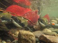 アダムズ川のピンクサーモンのサーモン・ランの画像045