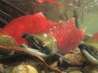 アダムズ川のピンクサーモンのサーモン・ランの画像046