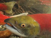 アダムズ川のピンクサーモンのサーモン・ランの画像048