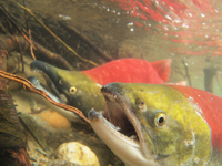 アダムズ川のピンクサーモンのサーモン・ランの画像050