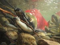アダムズ川のピンクサーモンのサーモン・ランの画像052