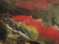アダムズ川のピンクサーモンのサーモン・ランの画像053