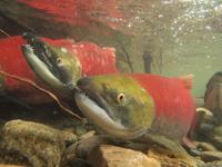 アダムズ川のピンクサーモンのサーモン・ランの画像054
