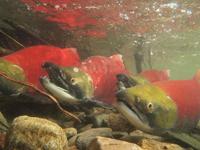 アダムズ川のピンクサーモンのサーモン・ランの画像055