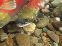 アダムズ川のピンクサーモンのサーモン・ランの画像056
