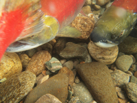 アダムズ川のピンクサーモンのサーモン・ランの画像058
