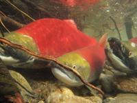 アダムズ川のピンクサーモンのサーモン・ランの画像060